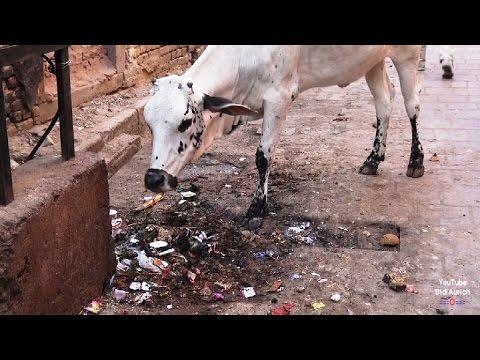 Indien India Inde Rajasthan Bikaner Altstadt Strassenleben Kühe city Bikaner in Rajasthan India
