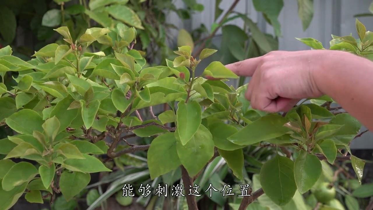 如何增加三角梅开花量,多做个小动作,轻松增花