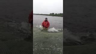видео: 20 тонн горбуши за раз или че там по рыбе?