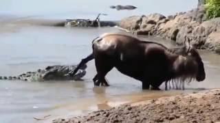 Жизнь диких животных, крокодил и антилопа,борьба не на жизнь а на смерть, кто победит?!!!
