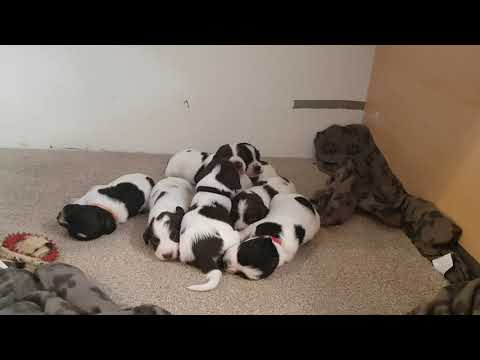 2.5 Week Old English Springer Spaniels Puppy's Puppies Puppy ESS