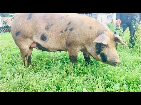 Вопрос: Когда и где вывели чёрную породу свиней?