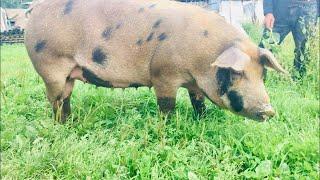 Новая порода свиней!