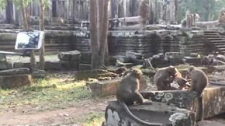 Baixar BRAVO SWEETPEA- Bravery Monkey