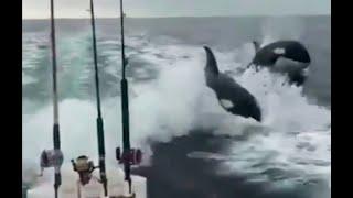 Momento único de la Naturaleza en que un grupo de ORCAS acompaña a un yate como si fueran delfines