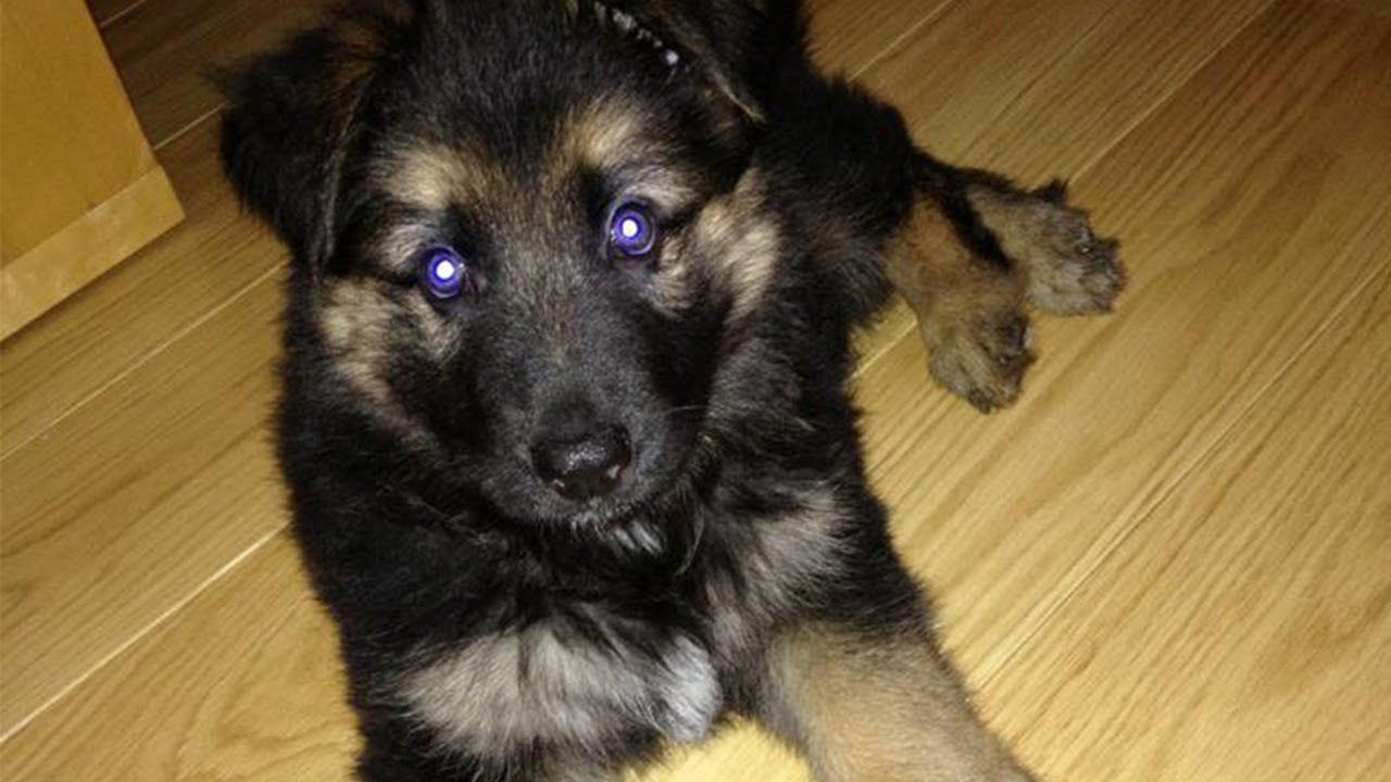 German Shepherd Puppy 6 Weeks Old You