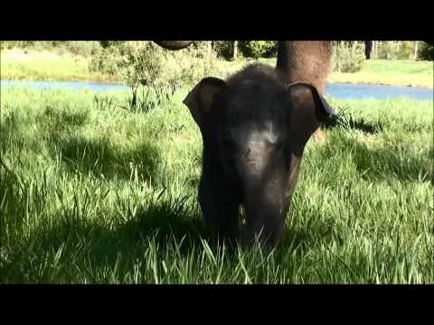 Three Baby Elephants Born at African Lion Safari 2015