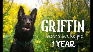 GRIFFIN  Australian Kelpie  1 YEAR