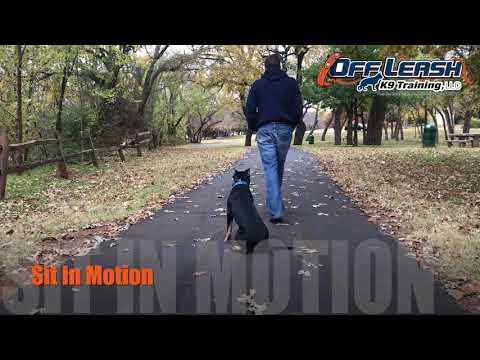 5 Month Old XL Bully | Best XL American Bully Dog Training Oklahoma | Off Leash K9 | Board & Train
