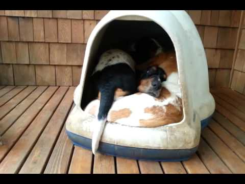 Basset Hounds Keep Magically Appearing From This Tiny Dog House And It's Ridiculous