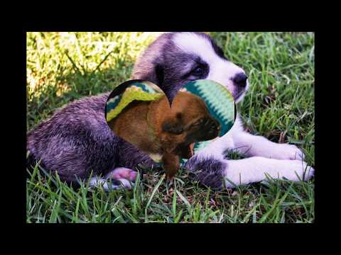 ***Potty Train your Anatolian Shepherd Puppy* FREE Mini Course* Click here***