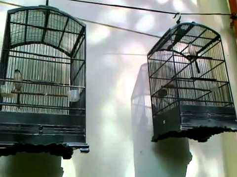 Diadu sang burung cendet Super Lomba