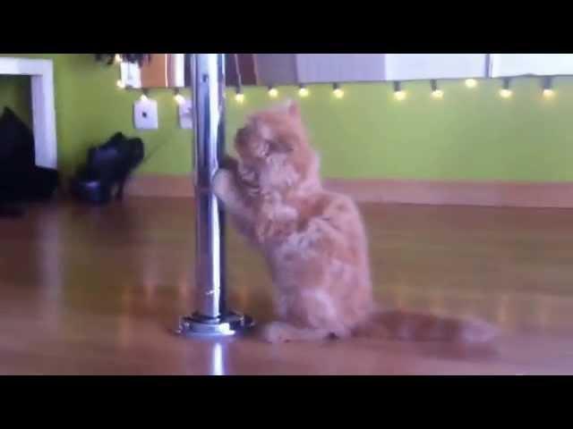 My little cat loves pole dancing
