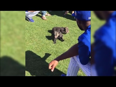 WATCH: Chicago Cubs Play with Bear Cubs