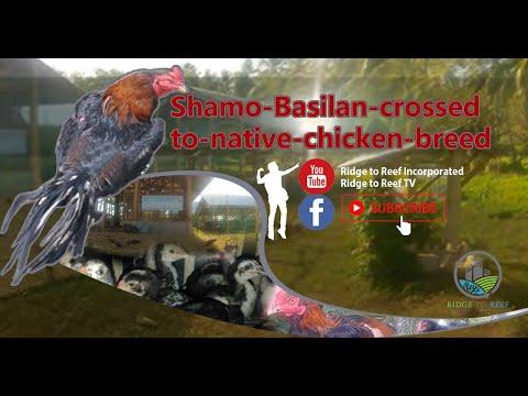 Shamo-Basilan-crossed-to-native-chicken-breed