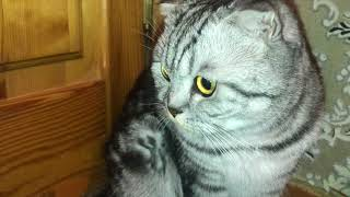 10дней Беременность Шотладской Кошки,,Фаня,,