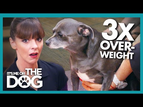 Chihuahua More Than 3 Times Overweight looks like 'a seal' | It's Me or The Dog