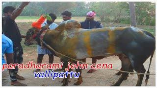 Famous Johncena  bull in valliapttu
