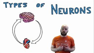 Types of Neurons - Structural and Functional Classes