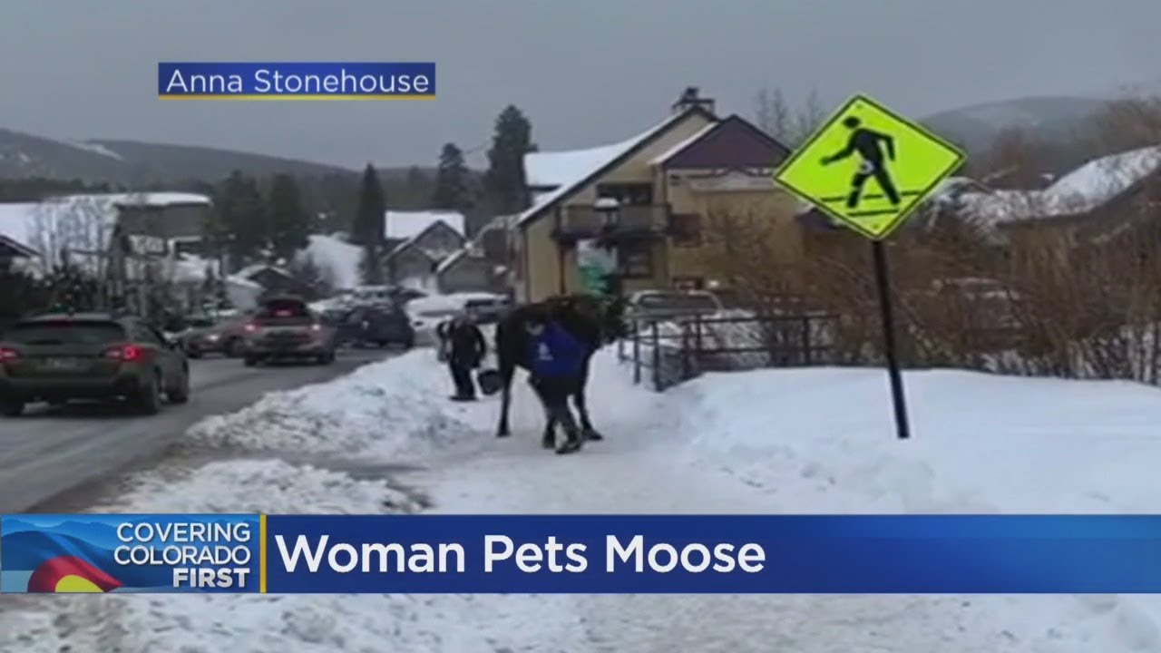 VIDEO: Woman Pets Moose In Breckenridge