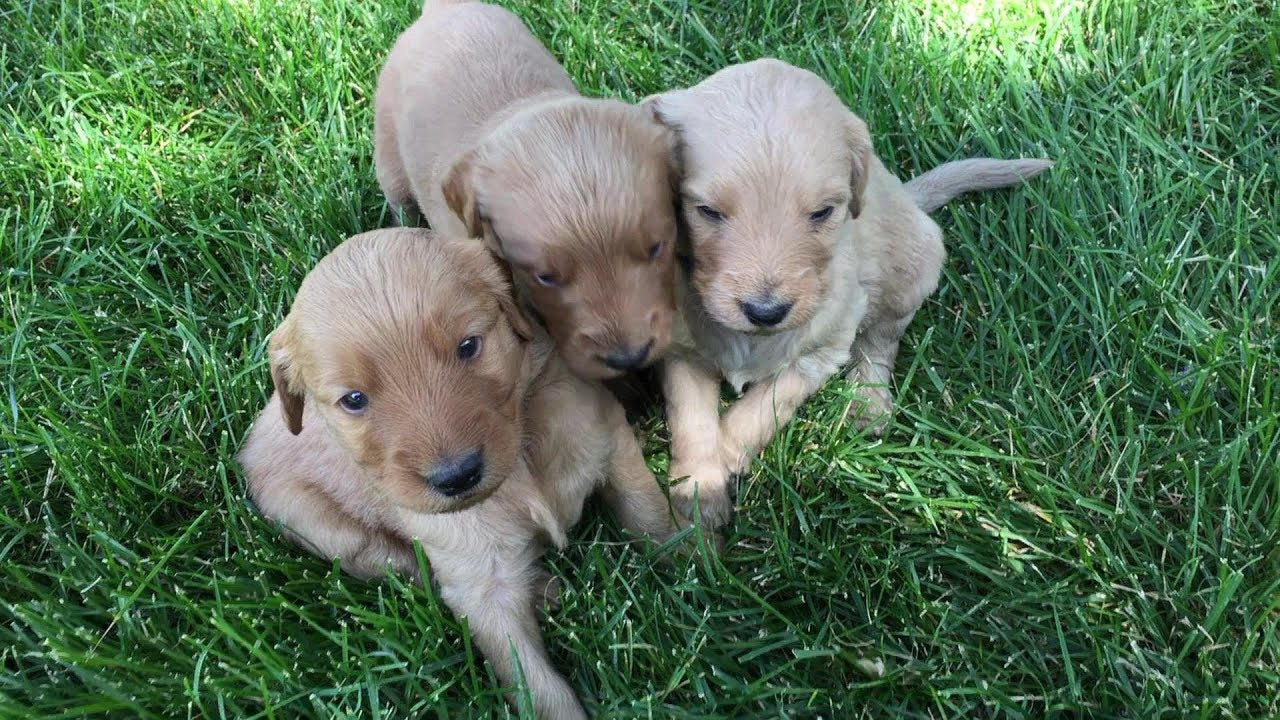 Puppy available Denver Colorado  Terry Farm Kennel