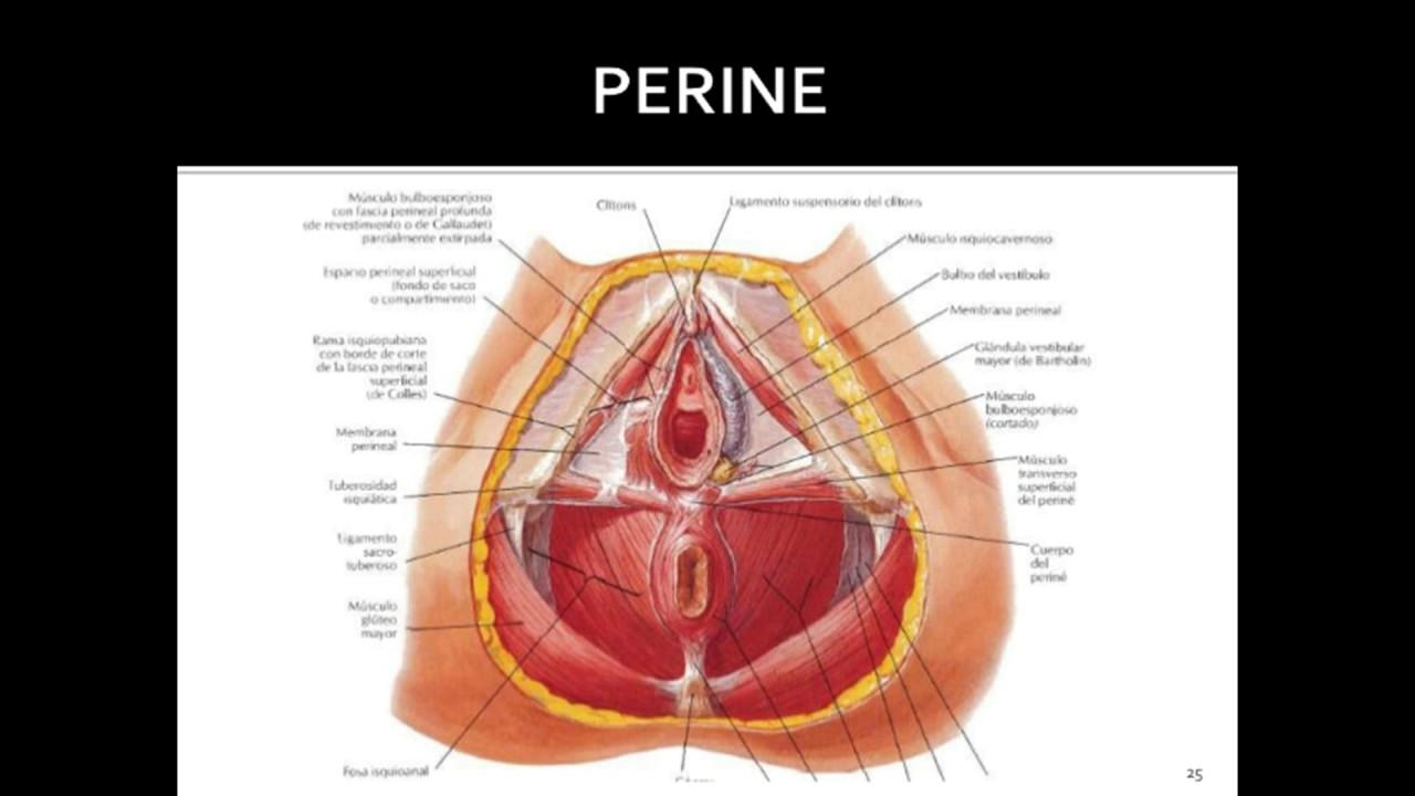sistema reproductor femenino (Netter) - YouTube