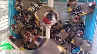 صيد طائر الحسون في يوم واحد 45 طائر