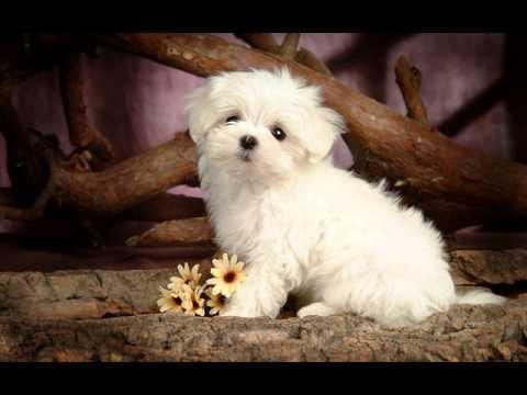 Pomeranian Puppies Cute Pet Pom Poms Cutiest Pomeranians Wallpaper