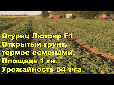 Огурец Лютояр F1. Открытый грунт, термос семенами. Площадь 1 га. Урожайность 84 т/га