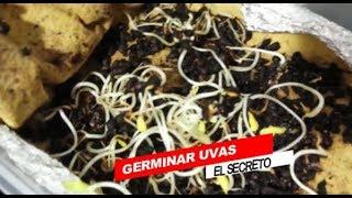 GERMINAR UVAS METÓDO ARTESANO