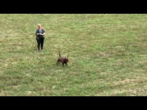 Dummy - Training  - Chesapeake Bay Retriever - kleine Suche