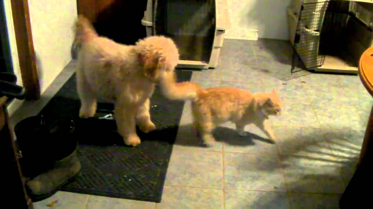 dog and cat play games  smiley the goldendoodle playing with sunny the cat
