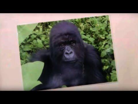 Familiar Faces  Gorillas Revisited with Sigourney Weaver  BBC