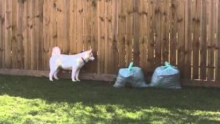 Dog Barking At Grass Bags