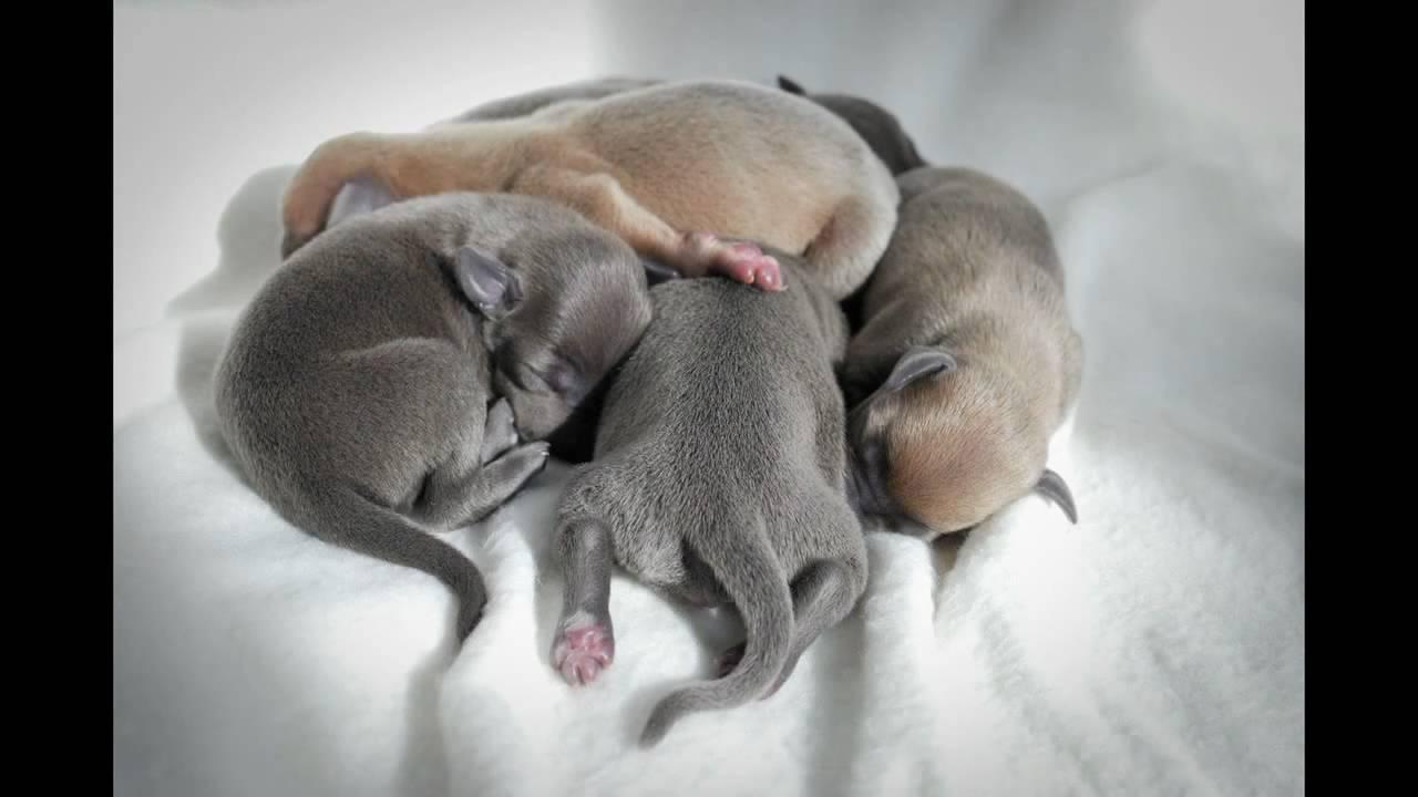 Italian Greyhound Puppies It Grey Butterfly Avi Youtube