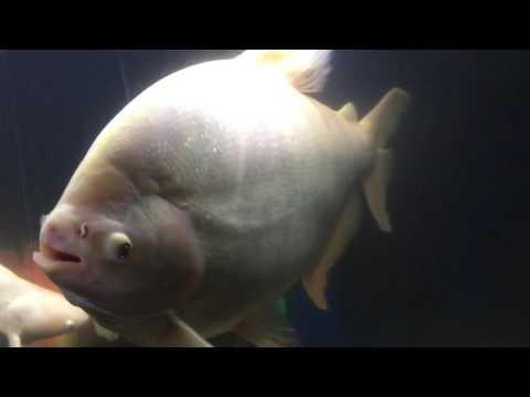 Giant Albino Pacu Fish Profile