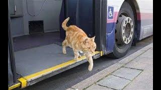 Кот идёт по переходу. Смоленск.