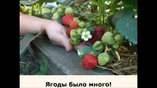 видео Выращивание садовой земляники: секреты и тонкости посадки