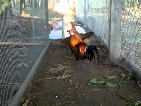 ban gà rừng f1 1200k 01699048231 tây ninh