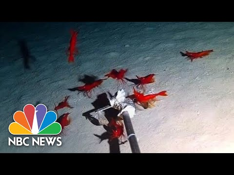 30 New Deep-Sea Creatures Discovered By Underwater Drone | NBC News