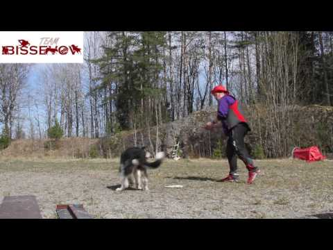 Dogflips with Vega the bearded border collie