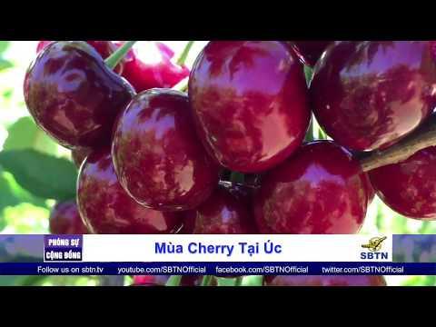 PHÓNG SỰ CỘNG ĐỒNG: Mùa cherry tại Úc