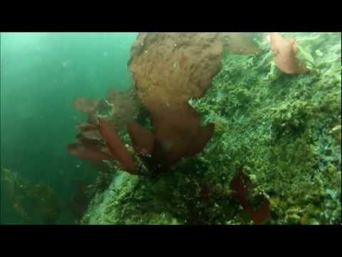 Kelp Forest Diving - Monterey Bay, California (1080p)