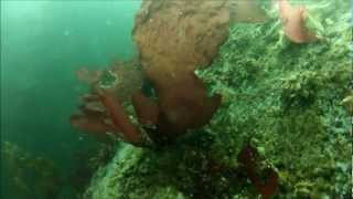 Kelp Forest Diving - Monterey Bay, California (1080p)