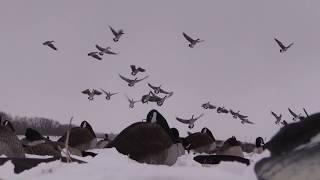 Goose Hunting- Late Season HONKER SMASH!