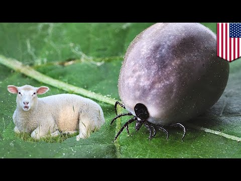 Ticks on animals: Sheep and farm area infested with over 1,000 Asian ticks in New Jersey - TomoNews