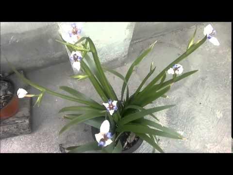 Nacimiento de 8 Orquídeas Neomarica Candida (Iris Caminante)