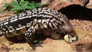 Черно-белые тегу. Гипно ящерицы едят яйца.