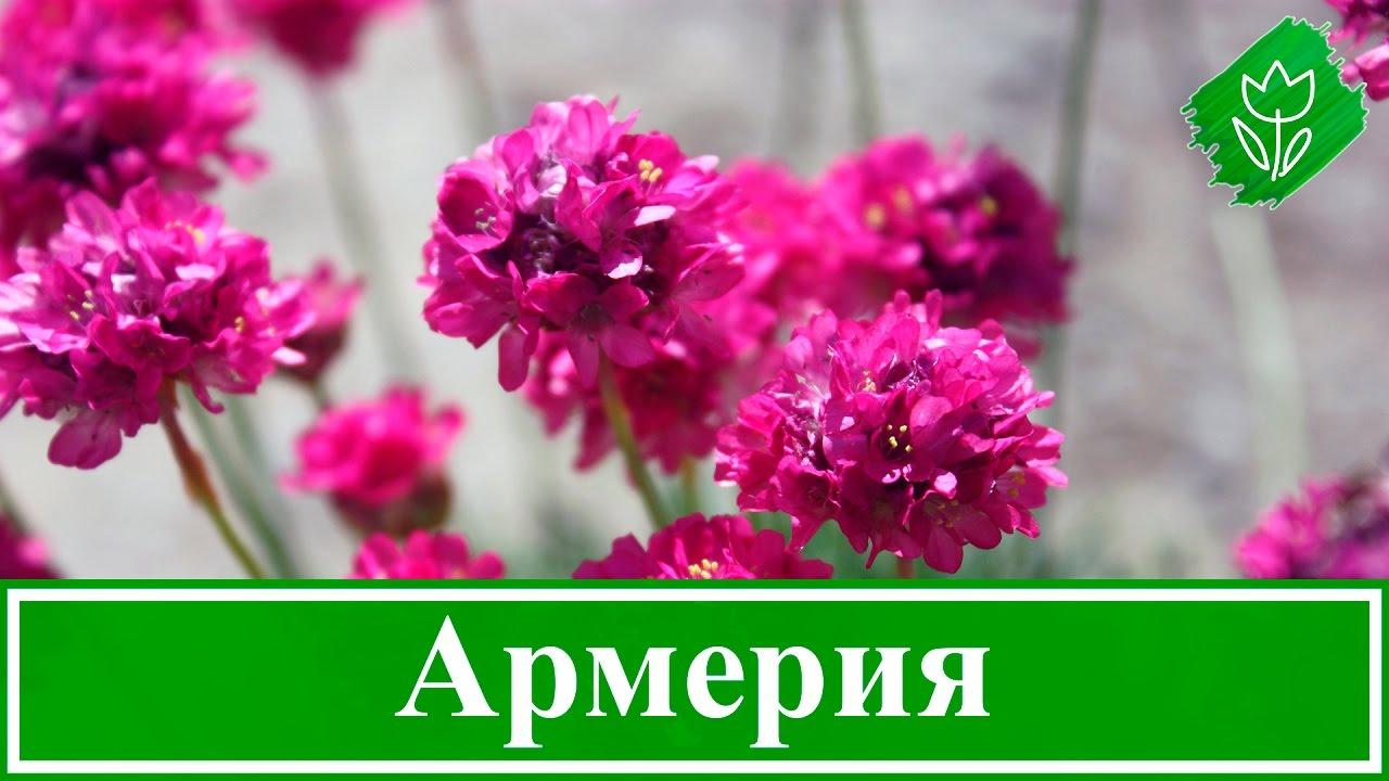 Цветок армерия – посадка и уход, армерия приморская ...