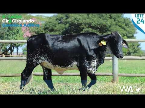 LOTE 24 - 5368 BJ - 6º Leilão Gir & Girolando Genética Aditiva